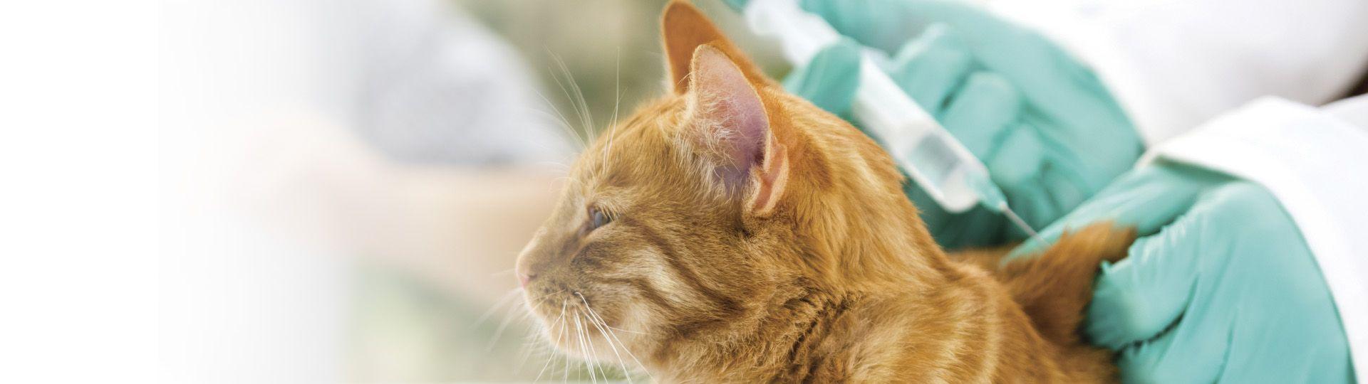 Védőoltás macskák számára